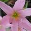 บัวดินzephyranthes panamapink thumbnail 1