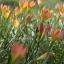 บัวดินzephyranthes Bright Eyes thumbnail 2