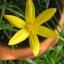 ขายบัวดินพันธุ์flavissima thumbnail 1