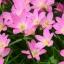 บัวดินสีขมพูดอกเล็ก thumbnail 1