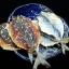 อาหารทะเลแห้ง ปลาทูอบแห้งโรยงา (2ขีด) thumbnail 3
