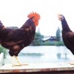 พันธุ์ไก่ไข่
