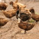 การเลี้ยงเป็ดไข่พันธุ์กบินทร์บุรี