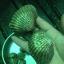 หอยแครงจัมโบ้ thumbnail 6