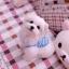 เสื้อกล้ามสุนัขลายหมีฟ้า thumbnail 2