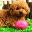 ของเล่นสุนัข บอลยางรักบี้สีฟ้า thumbnail 1