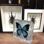 The Rock , Blue Swallowtail butterfly♥ที่ทับกระดาษ ผีเสื้อหางติ่ง สีฟ้า ในเรซิ่น ทรงก้อนหิน♥