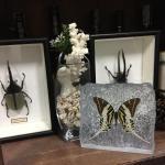 The Rock,Giant Swordtail ♥ที่ทับกระดาษ ผีเสื้อหางดาบใหญ่ในเรซิ่น ทรงก้อนหิน♥