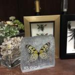 The Rock, Tree Nymph Butterfly ♥ที่ทับกระดาษ ผีเสื้อราชาถุงทองบรุค ในเรซิ่น ทรงก้อนหิน♥