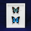 """Box - 9x12 All white view """"Emperor Blue Swallowtail Butterfly""""(Pair)"""