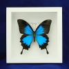 """Box - 6x6 White frame""""Emperor Blue Swallowtail Butterfly"""""""