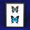 "Box - 9x12 Black frame""Emperor Blue Swallowtail Butterfly"" (Pair)"