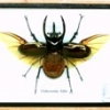 3 horned beetle-medium-wing