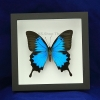 "Box - 6x6 Black frame""Emperor Blue Swallowtail Butterfly"""