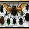 Assorted insect set S with 5 horn-wing