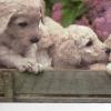 แนวภาพสัตว์ น้องลูกหมาในสวนดอกไม้ ภาพโทนสีสดใส เป็นกระดาษแนวยาว กระดาษแนพกิ้นสำหรับทำงาน เดคูพาจ Decoupage Paper Napkins ขนาด 33X33cm