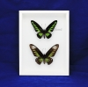 """Box - 9x12 All white view""""Rajah Brooke Butterfly"""" (Pair)"""