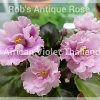 Rob's Antique Rose - Semiminiature