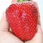 เมล็ดสตรอเบอรี่ ลูกโต Strawbery(50เมล็ดต่อซอง)