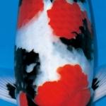 การเกิดสีในปลาแฟนซีคาร์พ