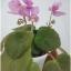 Pink Butterfly - Semiminiature thumbnail 2