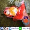 ปลาทอง ฮอลันดา