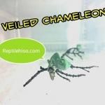 คู่มือการเลี้ยงเวลล์คามิเลียน (Veiled Chameleon)