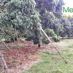 เทคนิคการพลิกฟื้นผืนดินด้วยเกษตรอินทรีย์(3)