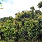รีวิว สวนลำไยพี่เด่น(ช่วงออกดอก) อ.โป่งน้ำร้อน จ.จันทบุรี