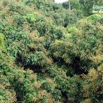 รีวิว สวนลำไยพี่เด่น(ผลดกมาก) อ.โป่งน้ำร้อน จ.จันทบุรี