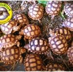 คำถาม คำตอบ สำหรับมือใหม่ อยากเลี้ยงเต่าซูคาต้า (Sulcata Tortoise)