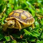 ขายเต่า ขายเต่าซูคาต้า ขายเต่าบก ขายเต่ายักษ์