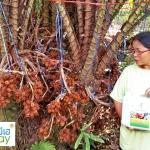 รีวิว Review ผลการใช้ มีเฮ น้ำหมักชีวภาพ ในสวนสละ