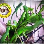 Green Iguana (อีกัวน่าเขียว)