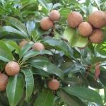 ละมุด ผลไม้หอมหวาน ดูแลง่าย ออกผลทั้งปีทำเงินได้ทั้งปี (ส่งเสริมความรู้เกษตรอินทรีย์)