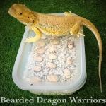 การฟักไข่และอนุบาลลูกเบี๊ยดดราก้อน (Bearded Dragon)