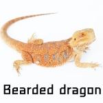 เมื่อมังกรน้อย Bearded Dragon ย้ายเข้าบ้านในวันแรก!