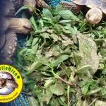 ตารางสารอาหาร ในพืชผักต่างๆ สำหรับเต่า