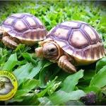 คู่มือเลี้ยงเต่าบก ในเบื้องต้น (By Reptilehiso.com)