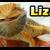 กิ้งก่า (Lizard)