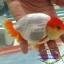 สิงห์ลูกผสม ขาวแดง thumbnail 3