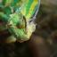 Veiled Chameleon กิ้งก่าเวลล์คามิเลียน thumbnail 8