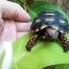 เต่า Cherry Head Redfoot Tortoise เต่าหนูน้อยหมวกแดง แห่งAmazon thumbnail 2