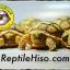 เต่าซูคาต้า (Sulcata Tortoise) thumbnail 1