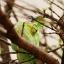 Veiled Chameleon กิ้งก่าเวลล์คามิเลียน thumbnail 6