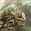 Veiled Chameleon กิ้งก่าเวลล์คามิเลียน thumbnail 3
