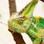 Veiled Chameleon กิ้งก่าเวลล์คามิเลียน thumbnail 1