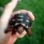 เต่า Cherry Head Redfoot Tortoise เต่าหนูน้อยหมวกแดง แห่งAmazon thumbnail 3