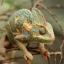 Veiled Chameleon กิ้งก่าเวลล์คามิเลียน thumbnail 5