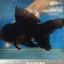 ออรันดา ยักษ์ สีดำ thumbnail 1